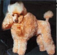 Barboncino Toy Albicocca Cani In Vendita E In Regalo Kijiji Dog | Dog ...
