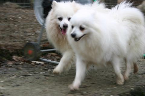 Volpino italiano razza cane for Volpino italiano
