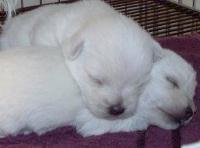 cuccioli WEST HIGHLAND WHITE TERRIER