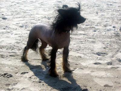 Chinese Crested Dog Cane Cinese Dal Ciuffo Foto Caratteristiche E