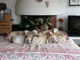 cucciolo SALUKY