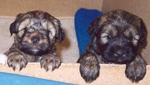 cuccioli TIBETAN TERRIER