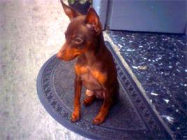 cucciolo ZWERGPINSCHER  (Pinscher nano)