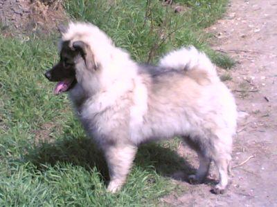 cucciolo WOLFSPITZ o KEESHOND
