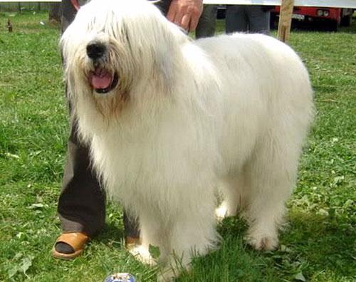 Pastore Rumeno Romanian Moritic Sheperd Dog Foto Caratteristiche
