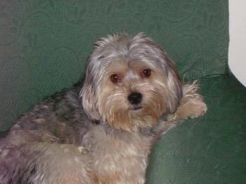 Piccolo cane leone razza cane - Educare il cane a non salire sul divano ...