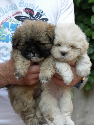 cuccioli di Lhasa Apso