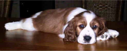 cucciolo WELSH SPRINGER SPANIEL