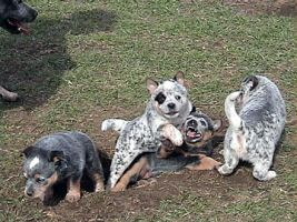 Cuccioli di Australian cattle dog