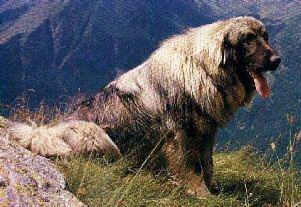 Ciarplanina O Cane Da Postore Jugoslavo Foto Caratteristiche E