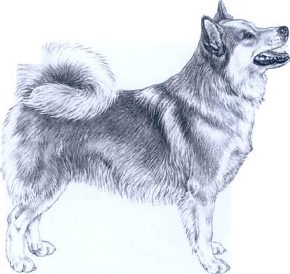 standard ICELAND DOG   (Cane d'islanda)