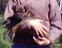 Cucciolo di Cane di Mannera