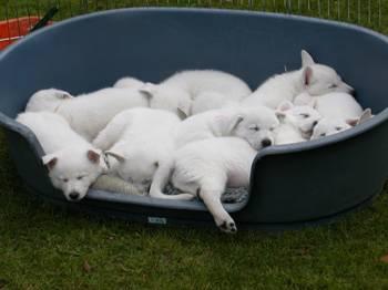 cuccioli PASTORE SVIZZERO BIANCO
