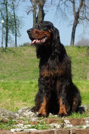 Setter gordon razza cane for Setter carattere