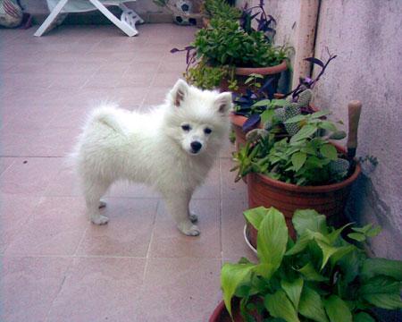 Spitz giapponese razza cane for Cane volpino