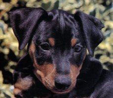 Zwergpinscher o pincher nano razza cane for Pincher cucciolo