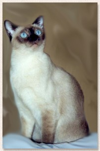 American Curl Russia TONKINESE - Allevament...