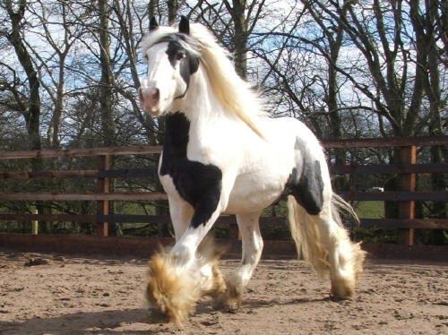 Popolare Cavallo IRISH COB : allevamento e scheda HS66