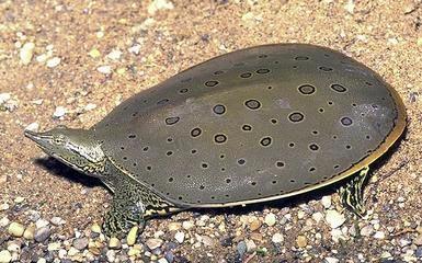 Apalone spinifera tartaruga dal guscio molle for Pellet per tartarughe