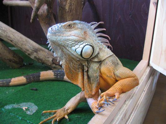 """Obrázek """"http://www.inseparabile.com/images/iguana1.jpg"""" nelze zobrazit, protože obsahuje chyby."""