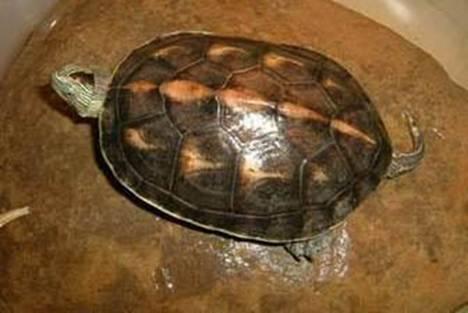 Ocadia sinensis allevamento e scheda for Letargo tartarughe acquatiche