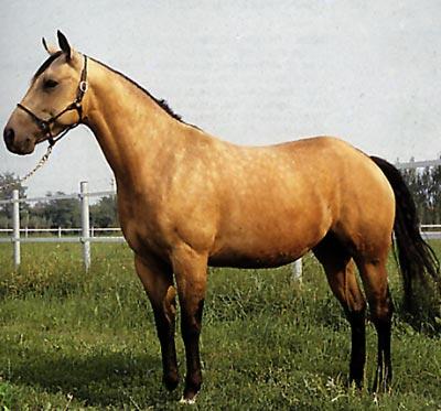 Cavallo Quarter Horse Allevamento E Scheda