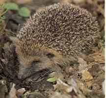 Ot help animali riccio - Riccio in giardino ...
