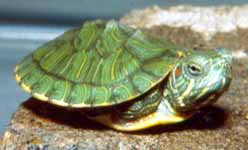 Tartaruga guance rosse allevamento e scheda for Tartaruga orecchie rosse prezzo