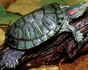 Tartaruga guance rosse allevamento e scheda for Terracquario per tartarughe