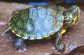 Trachemys scripta scripta tartaruga dalle orecchie gialle for Tartarughe di acqua dolce