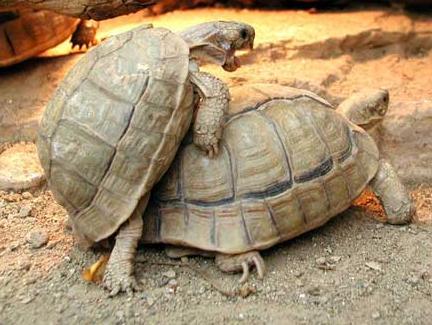Lo zoo di wa classificazione lista animali for Tartaruga di terra maschio o femmina