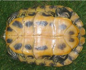 Tartaruga d acqua letargo for Letargo tartarughe acqua