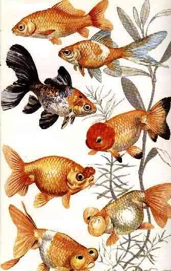 Pesci rossi allevamento e scheda for Vasche esterne per pesci rossi