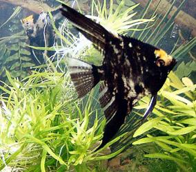 Pterophyllum scalare scalare allevamento e scheda for Vente poisson aquarium