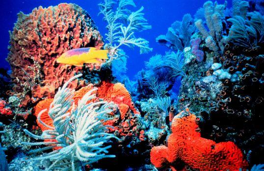 Pesci di mare tropicale le specie gli avvannotti i for Immagini coralli marini