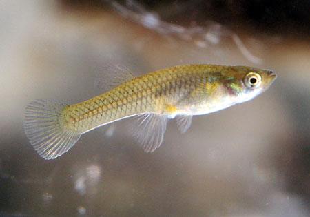 Gambusia e le zanzare pesce allevamento e scheda zanzara for Pesci da laghetto mangia zanzare