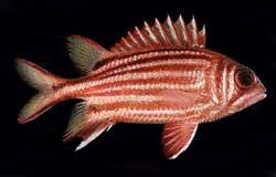 ADIORXY RUBRA Rubra o Pesce scoiattolo rosso