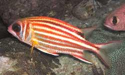Adiorxy rubra rubra o pesce scoiattolo rosso for Quanto vive un pesce rosso