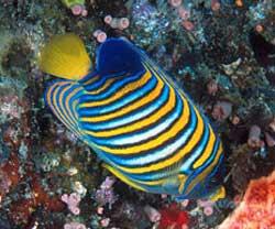 Pygoplites diacanthus o pesce angelo arcobaleno for Pesce discus