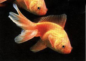 Qual il vostro animale preferito e quale razza yahoo for Pesce rosso razza