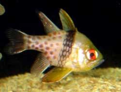 http://www.inseparabile.com/pesci/images/nematopterus2.jpg