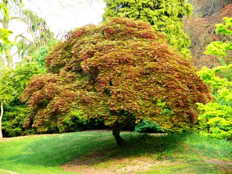 Alberi e arbusti - Alberi da giardino di piccole dimensioni ...