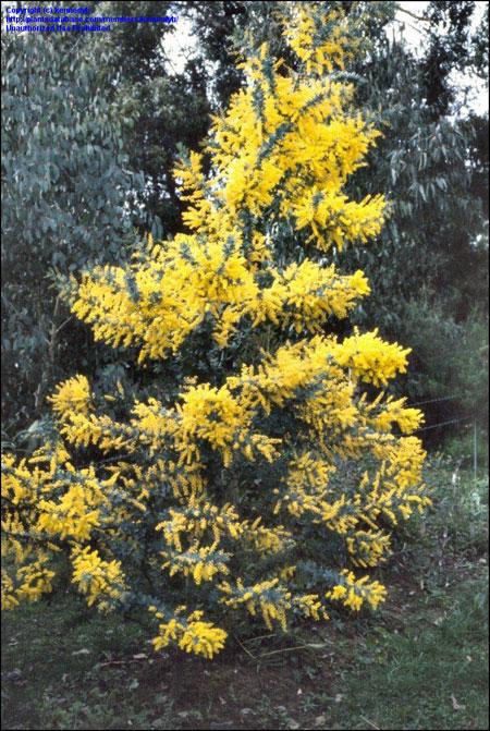 Acacia - foto tratta da http://davesgarden.com/