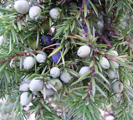http://www.inseparabile.com/pianteefiori/foto_piante_e_fiori/juniperus_communis.jpg