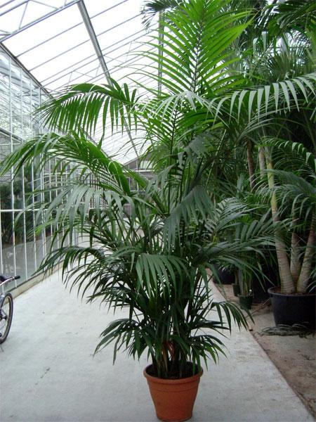 Spargete piante a casa mia foto forum giardinaggio for Kentia pianta