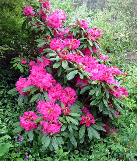 Rododendro rhododendron for Jardin de france magnanville 78