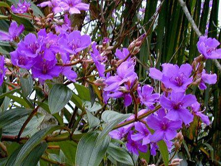 http://www.inseparabile.com/pianteefiori/foto_piante_e_fiori/tibouchina_Semidecandra.jpg