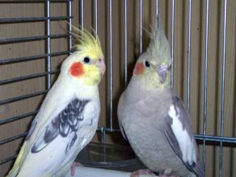 http://www.inseparabile.com/uccelli/images/1cendg3.jpg
