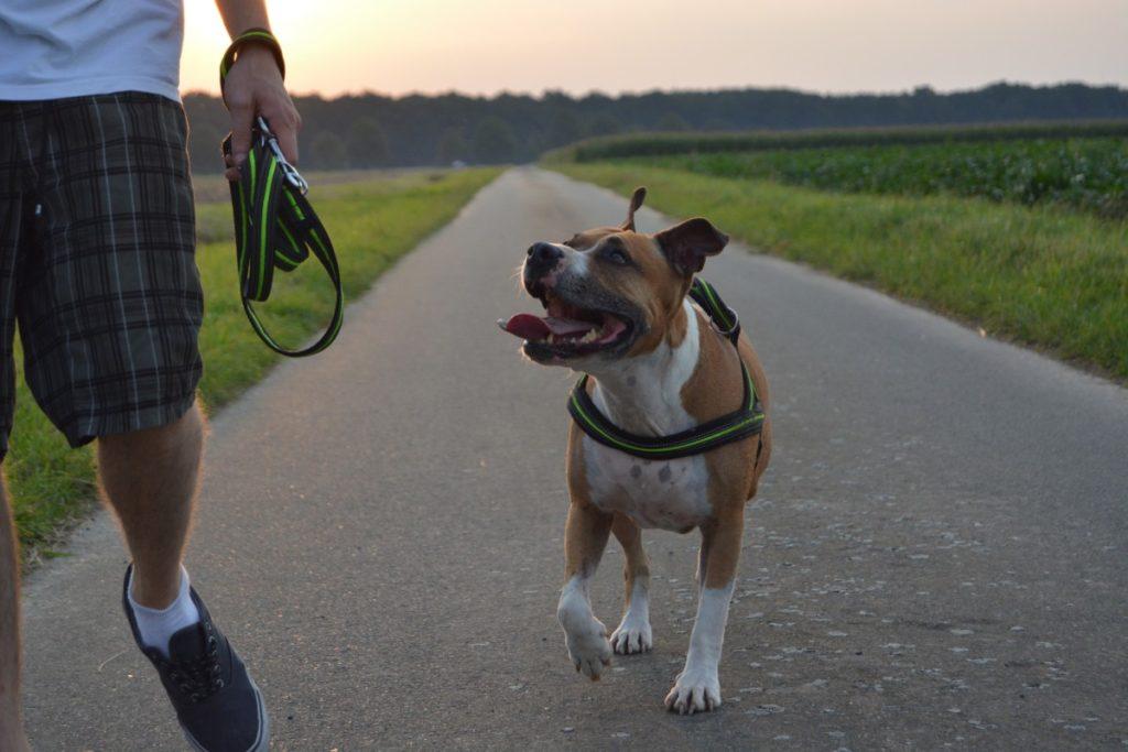 addestramento del American Staffordshire terrier