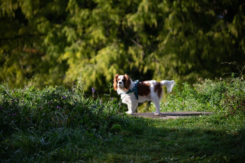 Cavalier king charles spaniel in campagna